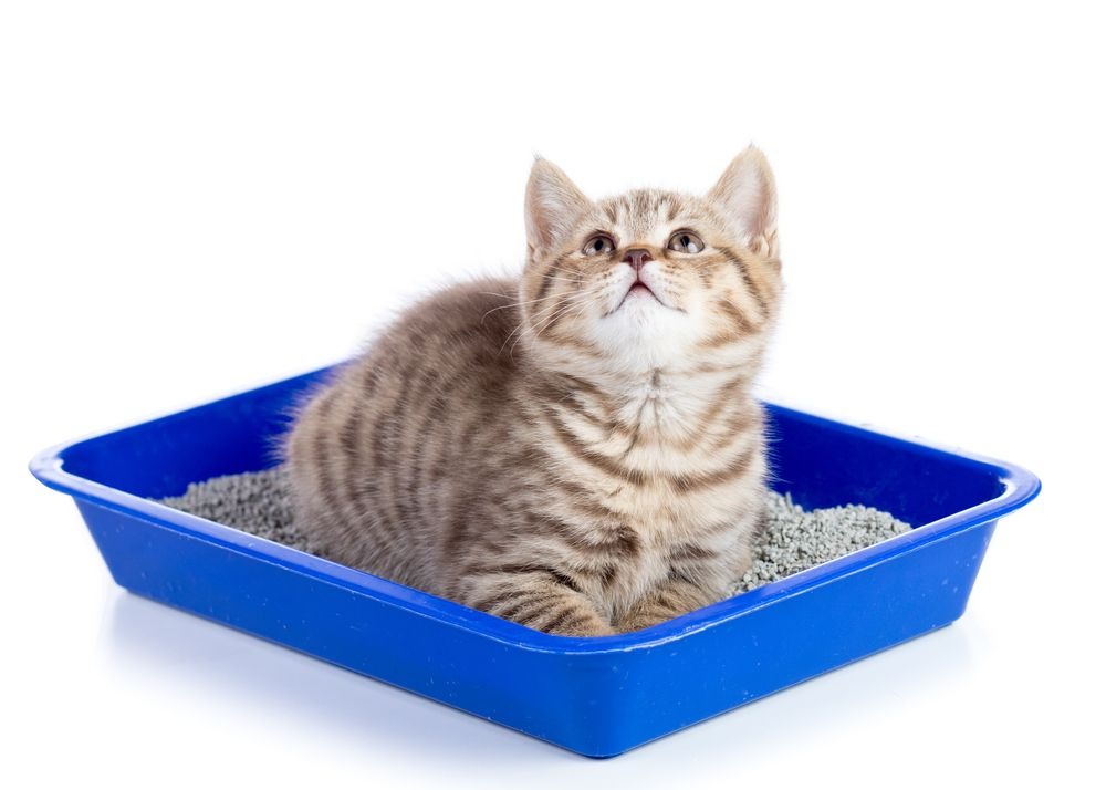 cat on a litterbox