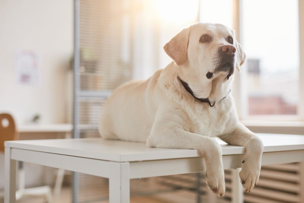 Benefits of Acupuncture for Pets