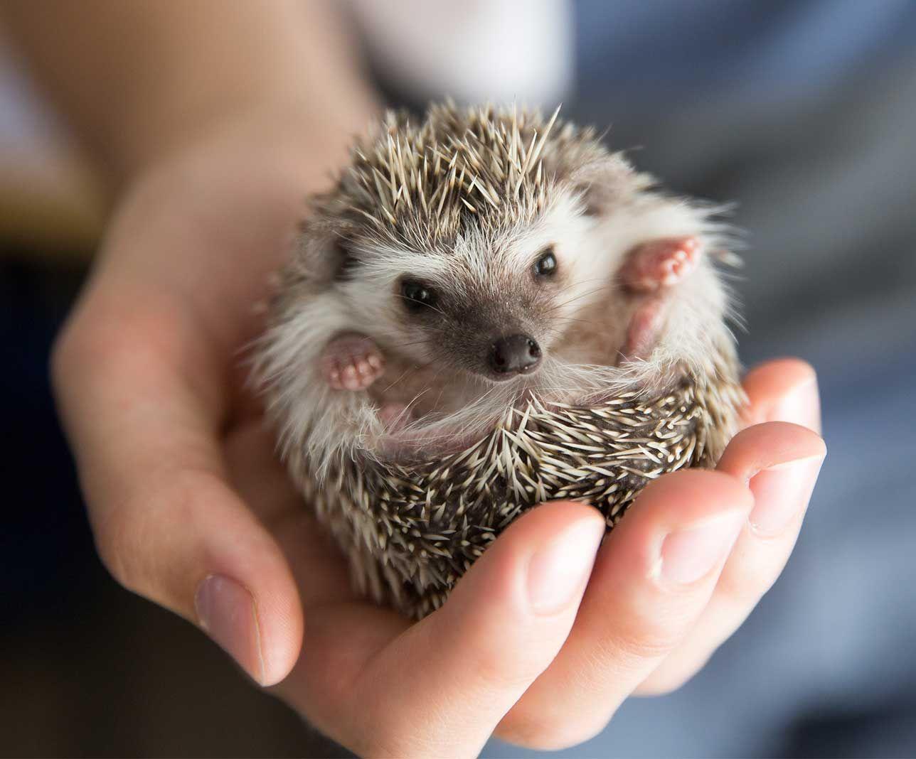 Vet holding a pocket pet