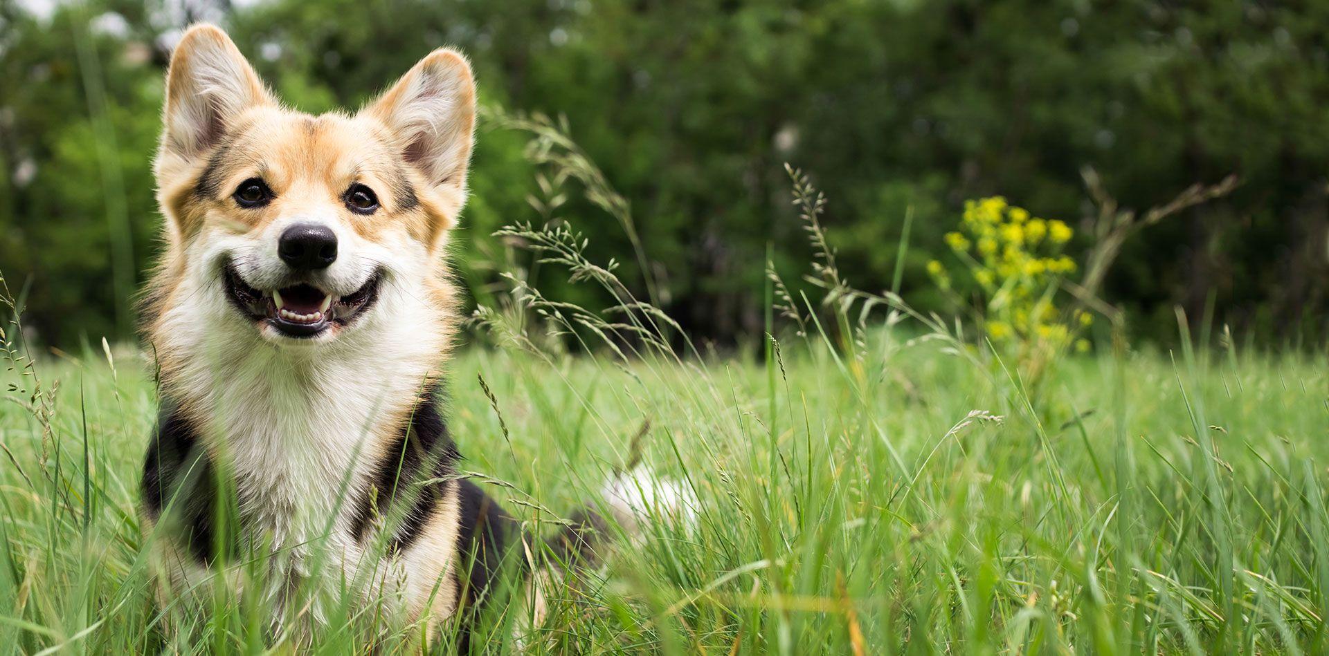dog in a green field