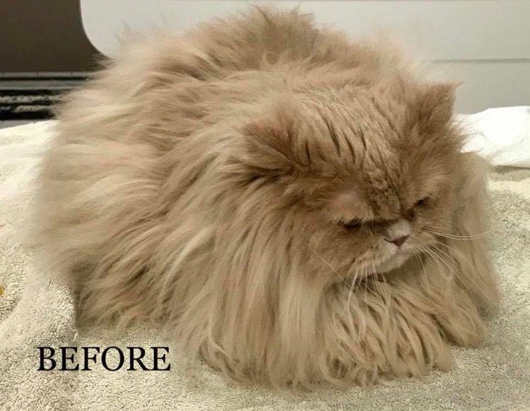 cat before being grooming by vet