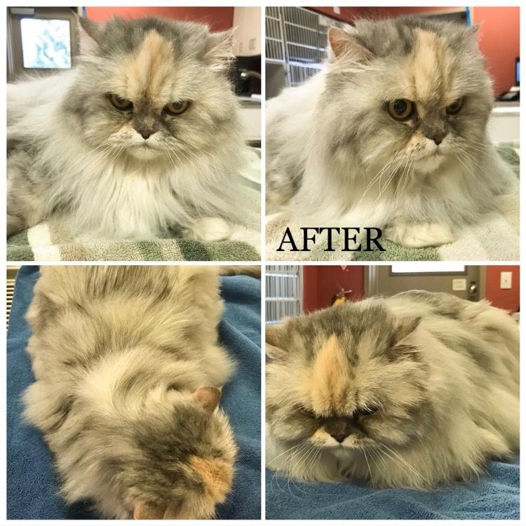 cat after being grooming by vet