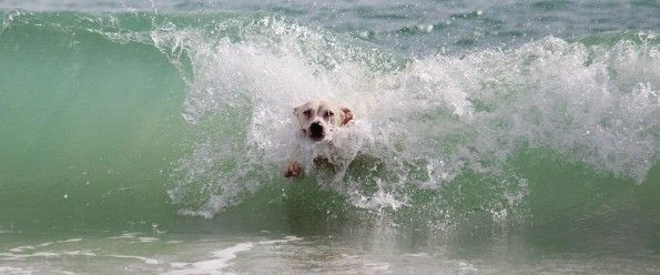 White dog swim on the sea