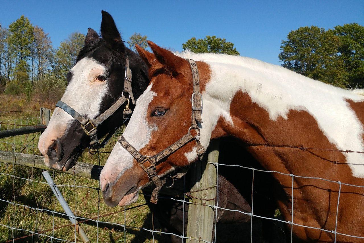Equine: Lameness Evaluation