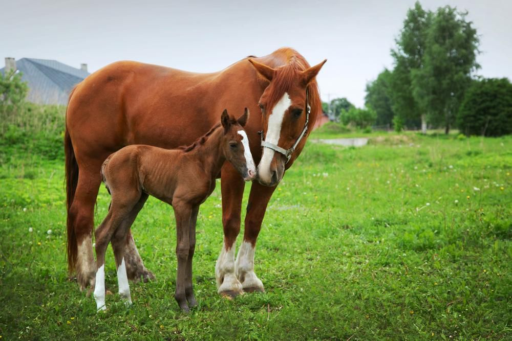 horse and mare