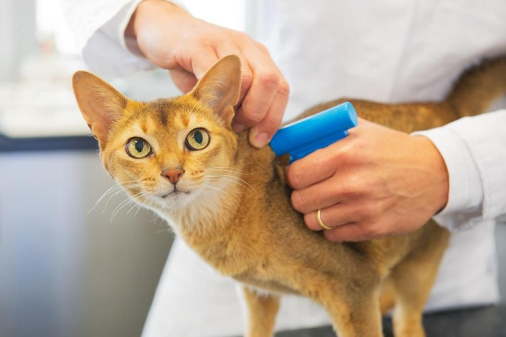 cat getting microchipped by vet