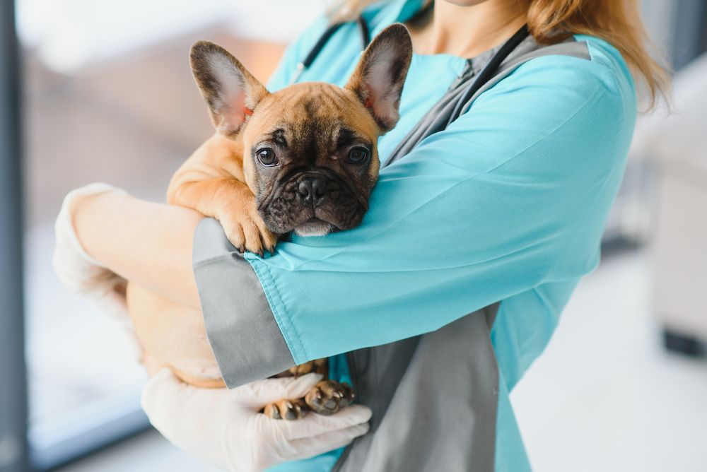 small dog in a veterinarian's arms