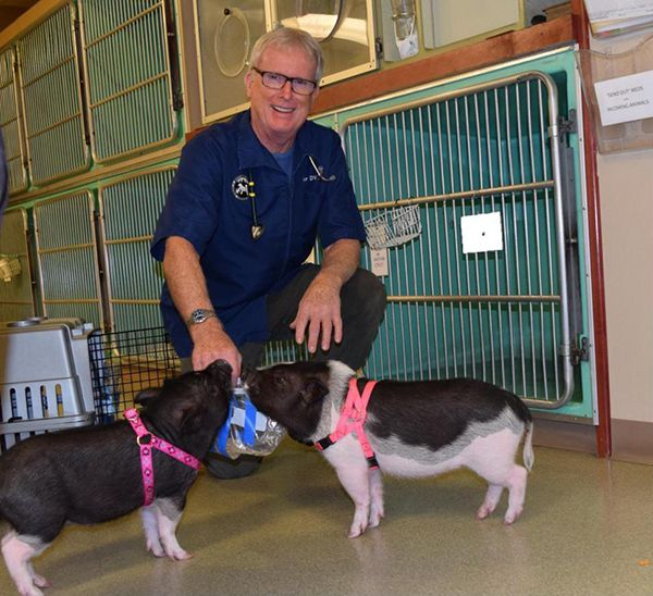 Dr. Pat Taylor has enjoyed working with pigs throughout his career.