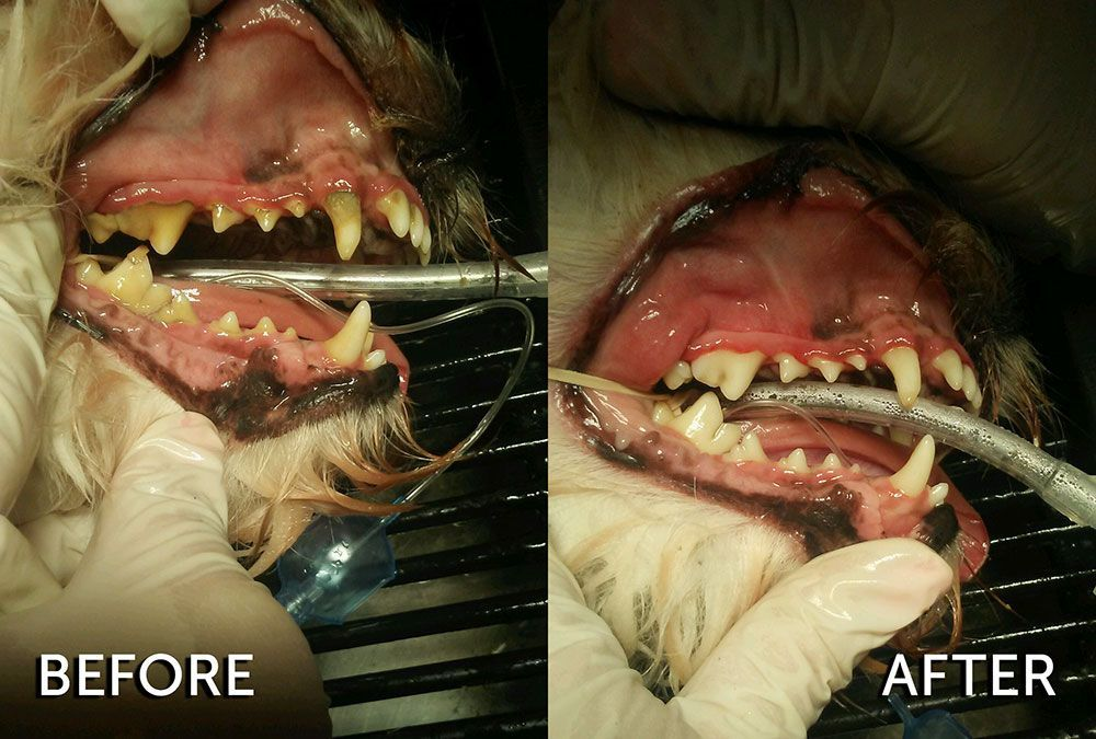gum disease in dogs