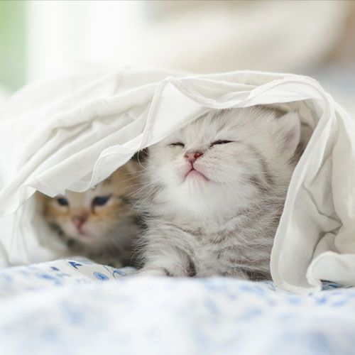 two kittens under a blanket