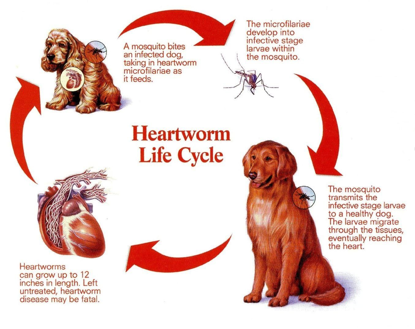 Heart Worms: Diagnosis, Causes, Treatment