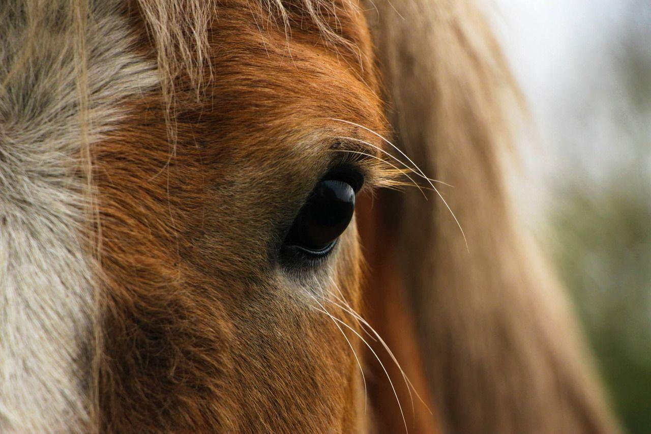 equine vet