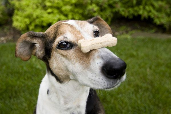 Dog treat on the nose of a playful dog