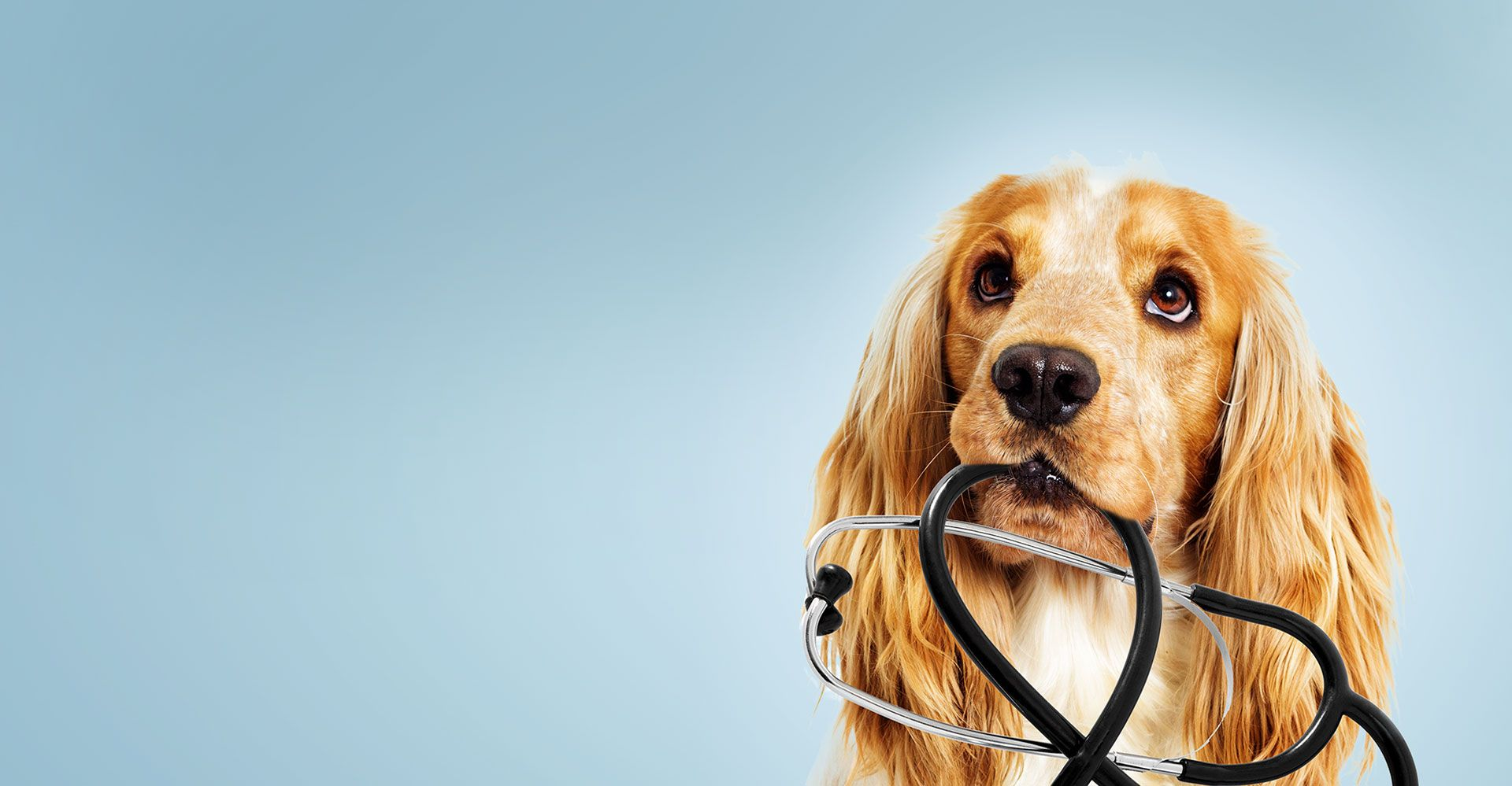dog with a stethoscope
