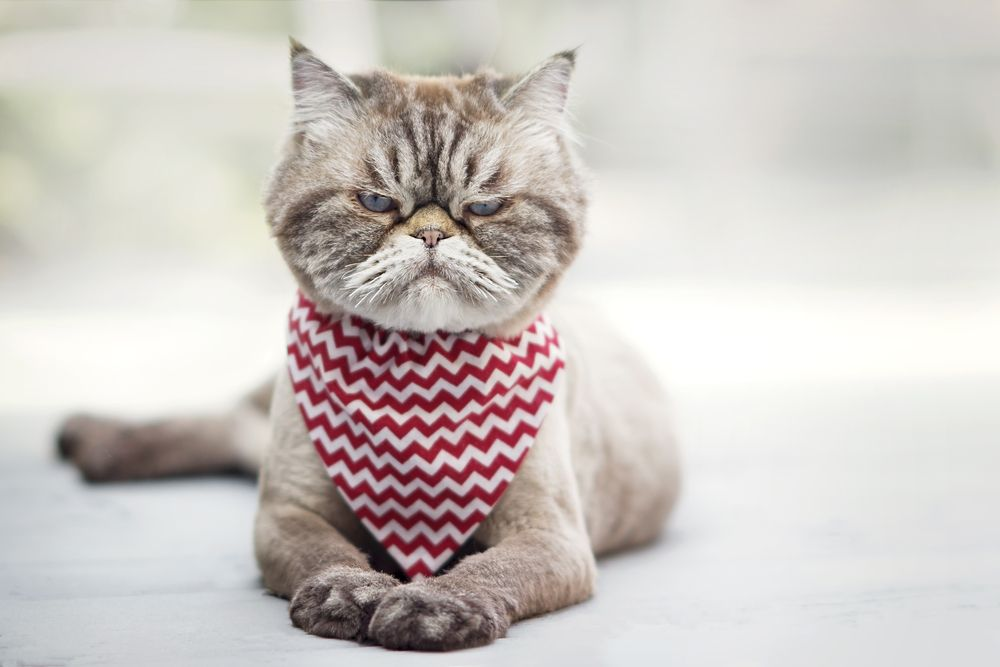 angry cat with red scarf