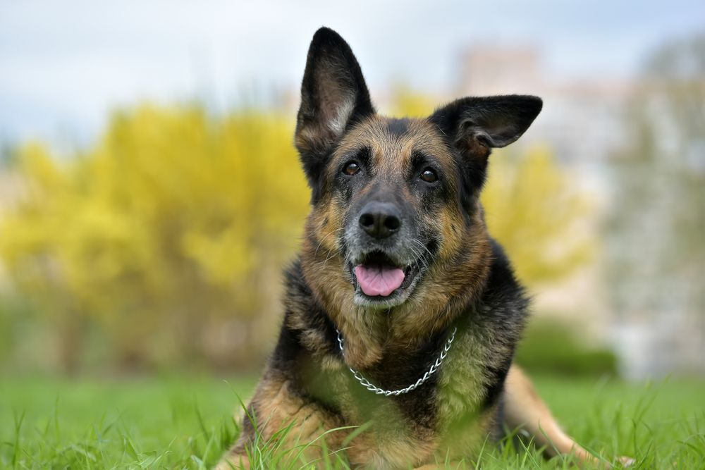 Does My Dog Have Arthritis: Top Signs and Symptoms