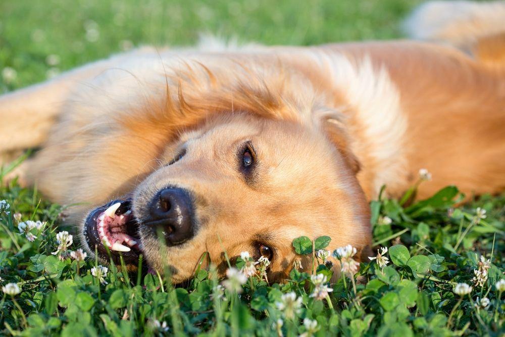 happy dog lying down