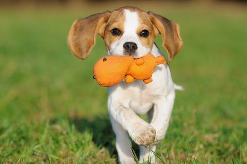 beagle running with toy on his mouth