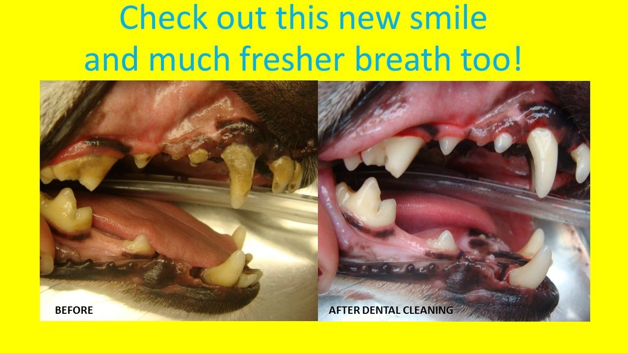 Discounted Pet Dental Cleanings