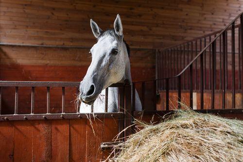 Equine: Castration