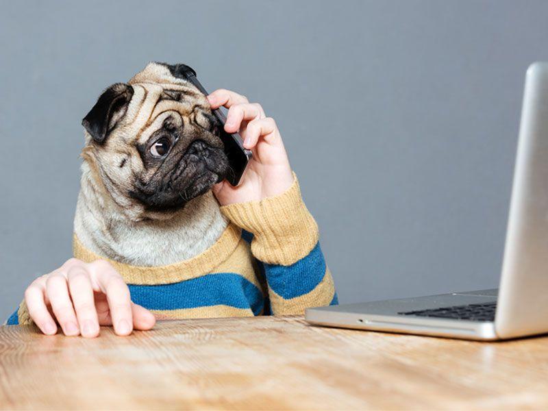 pug calling with human hand