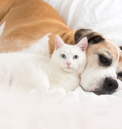 Cat resting with dog