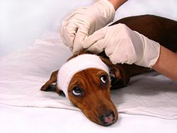 dog with bandage