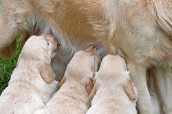 puppies getting their milk