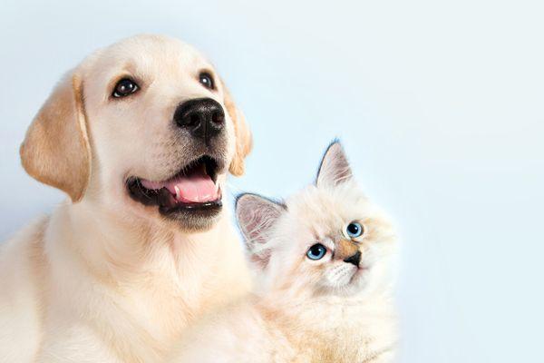 white labrador and white cat