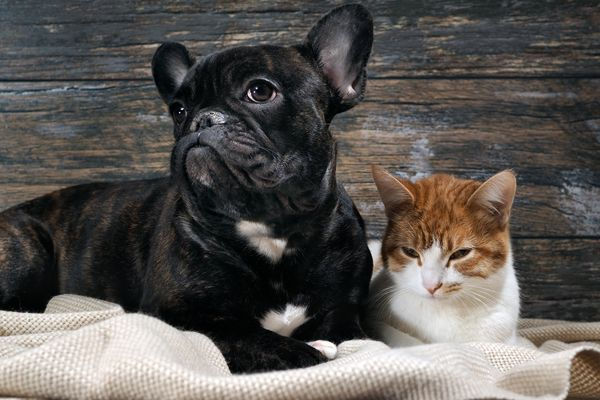 french bull dog and cat