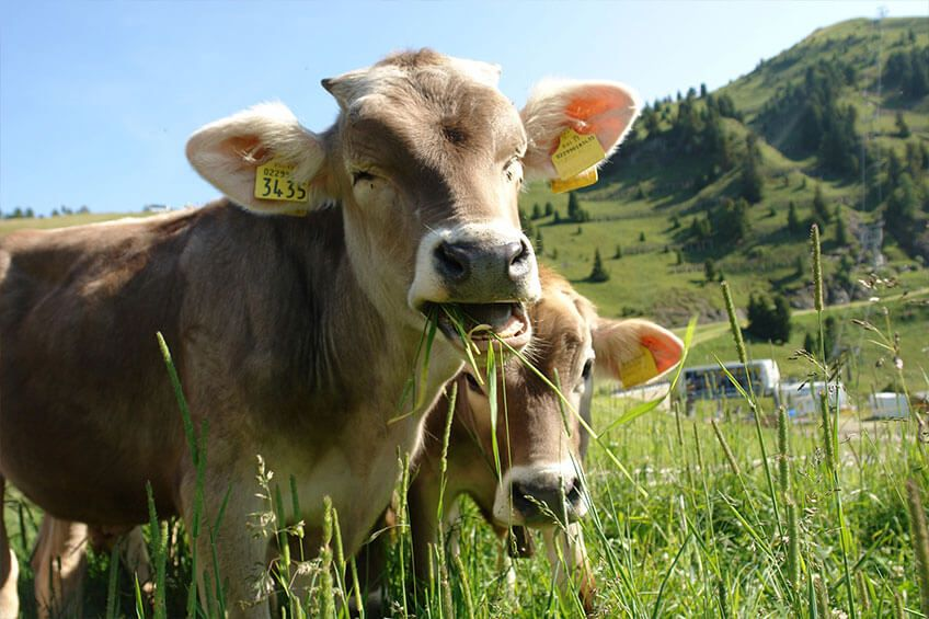We also cater to bovine (cattle) and livestock