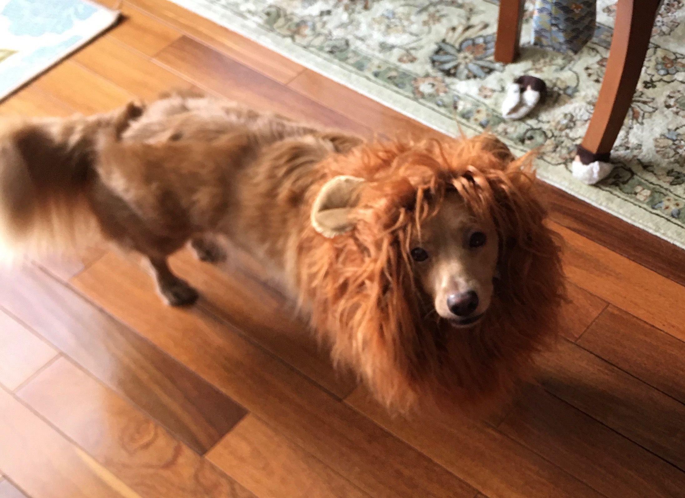 Chip as a lion