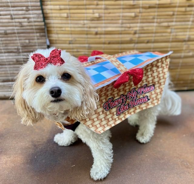 Snowy as Toto in a basket (from the Wizard of Oz).