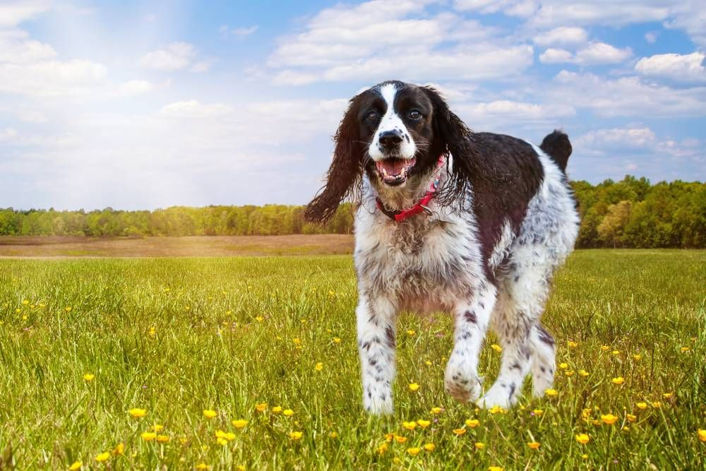 Preventing Fleas and Ticks in Dogs