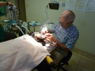 Veterinarian doing dental surgery at Petaluma Veterinary Hospital.