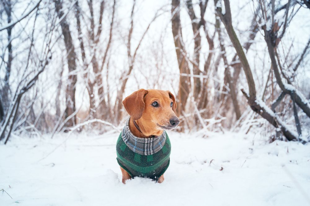 dog on clothes during winter