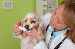 vet brushing a dog's teeth