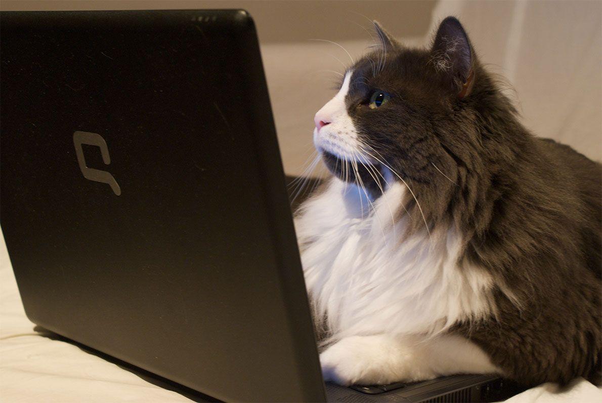 cat in a laptop