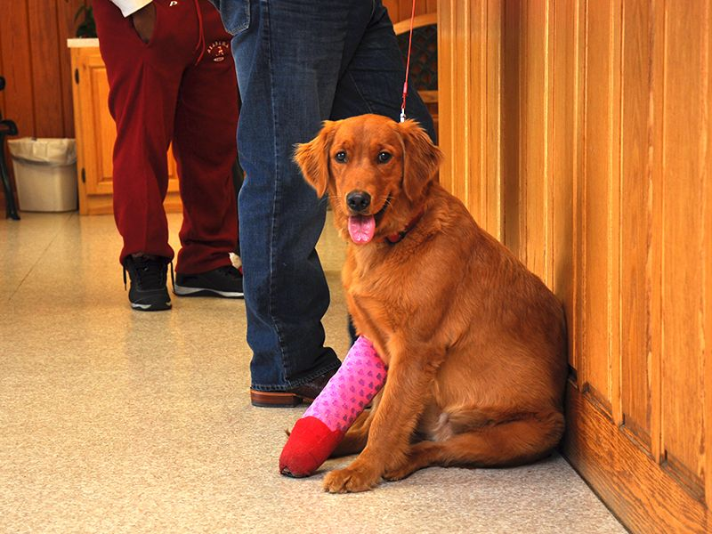 dog with arm bandage