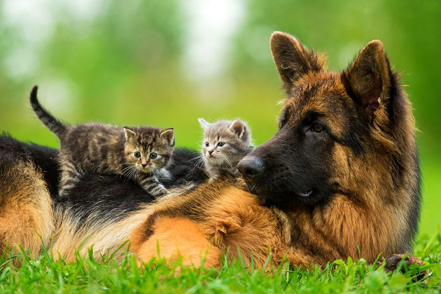 German Shepherd and Kittens