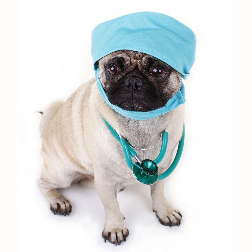 pug surgeon