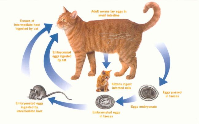 Roundworms In Cat Feces
