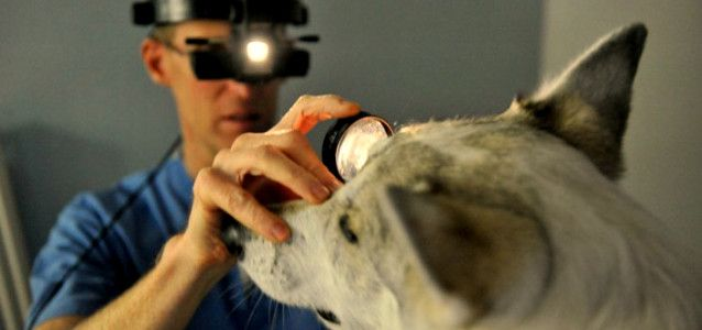 vet diagnosing dog's eye