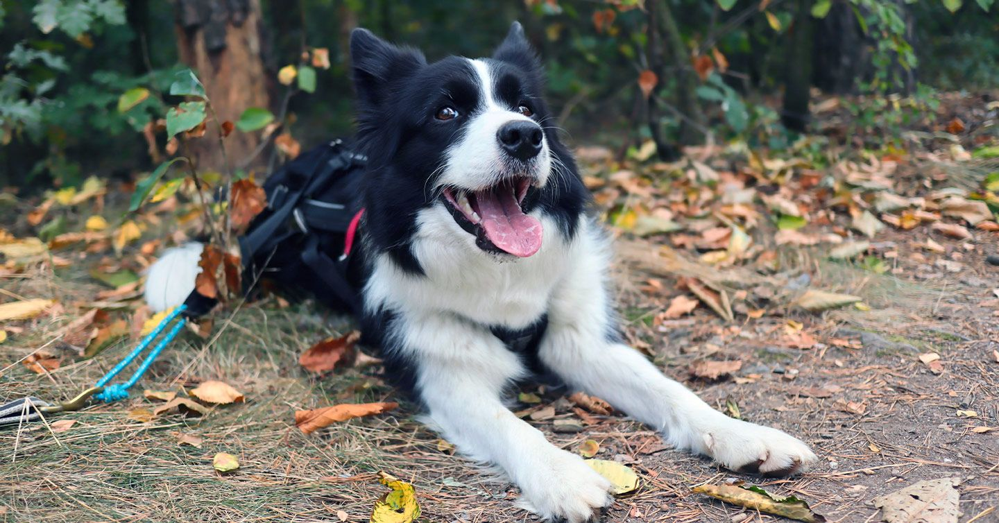 Important Things to Know About Lyme Disease in Dogs