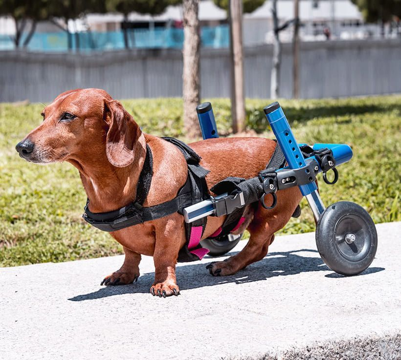 Splints and Cart Fittings for Dogs