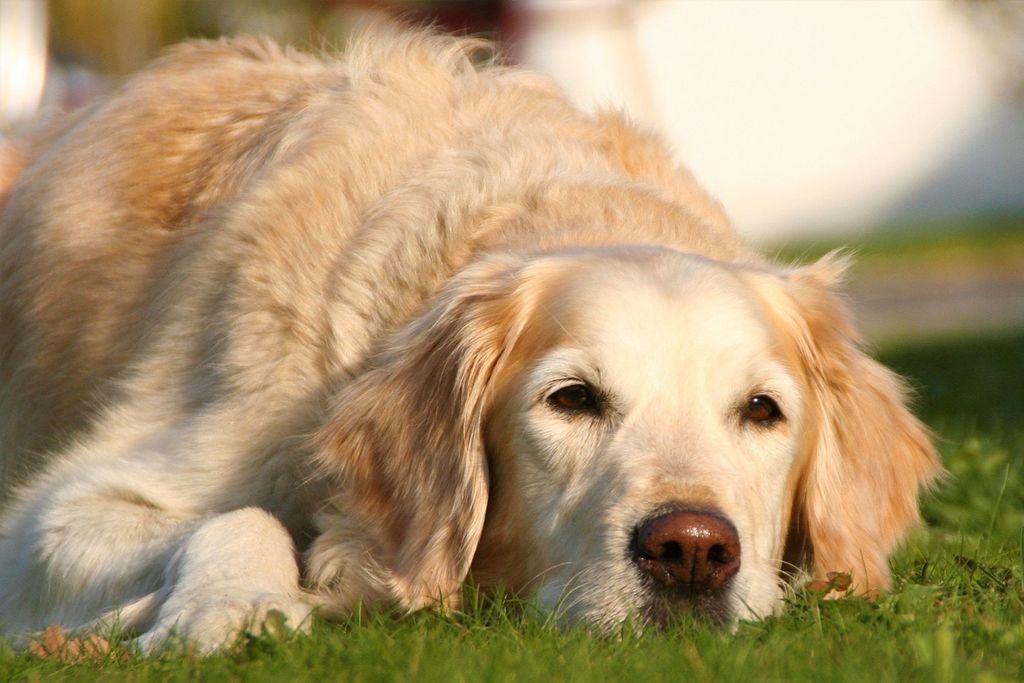 Common Symptoms of Hip Dysplasia in Dogs