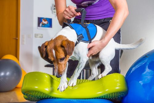 Healing Your Pet: Animal Rehabilitation Services in St. Petersburg