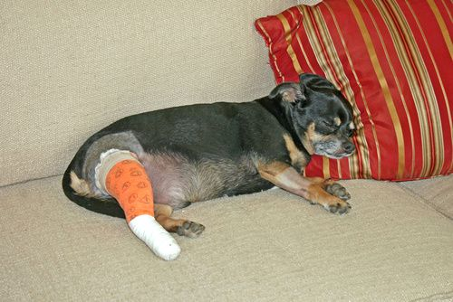 Canine Knee Injuries: Road to Recovery