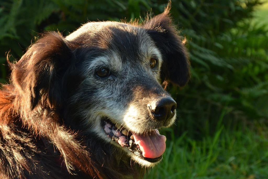 Can Therapy Help My Senior Dog?