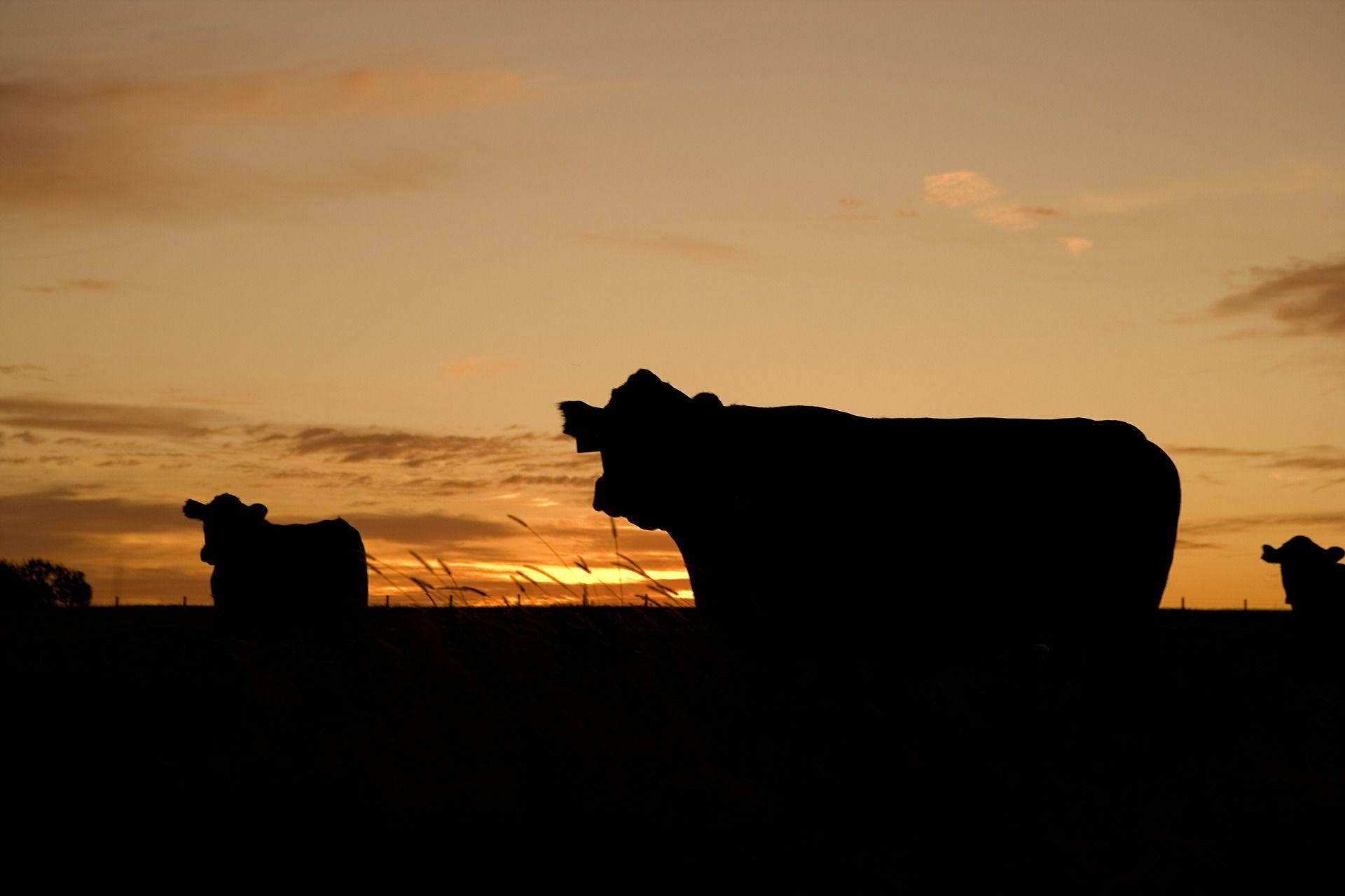 ranch livestock